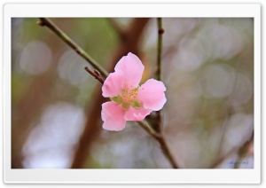 Vietnams Peach blossom HD Wide Wallpaper for Widescreen