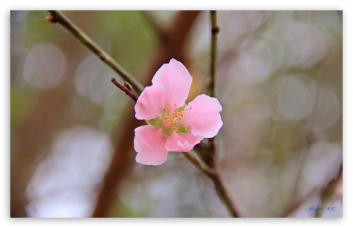 Vietnams Peach blossom ❤ 4K UHD Wallpaper for Wide 16:10 5:3 Widescreen WHXGA WQXGA WUXGA WXGA WGA ; 4K UHD 16:9 Ultra High Definition 2160p 1440p 1080p 900p 720p ; UHD 16:9 2160p 1440p 1080p 900p 720p ; Standard 4:3 5:4 3:2 Fullscreen UXGA XGA SVGA QSXGA SXGA DVGA HVGA HQVGA ( Apple PowerBook G4 iPhone 4 3G 3GS iPod Touch ) ; Smartphone 5:3 WGA ; Tablet 1:1 ; iPad 1/2/Mini ; Mobile 4:3 5:3 3:2 16:9 5:4 - UXGA XGA SVGA WGA DVGA HVGA HQVGA ( Apple PowerBook G4 iPhone 4 3G 3GS iPod Touch ) 2160p 1440p 1080p 900p 720p QSXGA SXGA ;