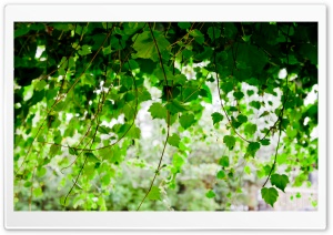 Vine HD Wide Wallpaper for Widescreen