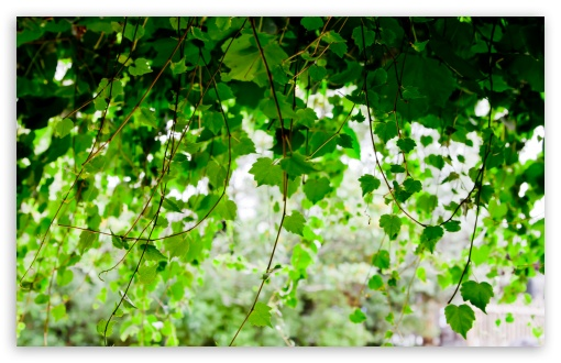 Vine ❤ 4K UHD Wallpaper for Wide 16:10 5:3 Widescreen WHXGA WQXGA WUXGA WXGA WGA ; 4K UHD 16:9 Ultra High Definition 2160p 1440p 1080p 900p 720p ; Standard 4:3 5:4 3:2 Fullscreen UXGA XGA SVGA QSXGA SXGA DVGA HVGA HQVGA ( Apple PowerBook G4 iPhone 4 3G 3GS iPod Touch ) ; Tablet 1:1 ; iPad 1/2/Mini ; Mobile 4:3 5:3 3:2 16:9 5:4 - UXGA XGA SVGA WGA DVGA HVGA HQVGA ( Apple PowerBook G4 iPhone 4 3G 3GS iPod Touch ) 2160p 1440p 1080p 900p 720p QSXGA SXGA ; Dual 16:10 5:3 16:9 4:3 5:4 WHXGA WQXGA WUXGA WXGA WGA 2160p 1440p 1080p 900p 720p UXGA XGA SVGA QSXGA SXGA ;
