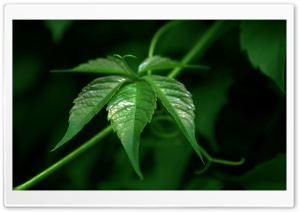 Vine Macro HD Wide Wallpaper for Widescreen