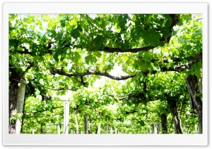 Vine Yard HD Wide Wallpaper for Widescreen