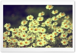 Vintage Daisies Photography HD Wide Wallpaper for 4K UHD Widescreen desktop & smartphone