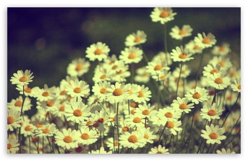 Vintage Daisies Photography Ultra Hd Desktop Background Wallpaper