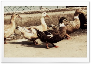 Vintage Ducks Ultra HD Wallpaper for 4K UHD Widescreen desktop, tablet & smartphone