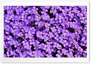 Violet Aubrieta flowers HD Wide Wallpaper for 4K UHD Widescreen desktop & smartphone