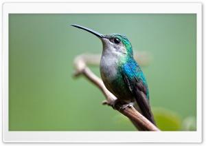 Violet-crowned Woodnymph Hummingbird Female Macro Ultra HD Wallpaper for 4K UHD Widescreen desktop, tablet & smartphone
