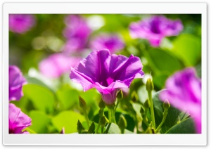 Violet Flowers HD Wide Wallpaper for Widescreen