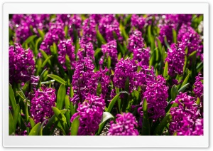 Violet Hyacinths Flowers, Spring Ultra HD Wallpaper for 4K UHD Widescreen desktop, tablet & smartphone