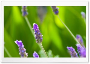 Violet Plant Macro HD Wide Wallpaper for Widescreen