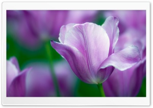Violet Tulip HD Wide Wallpaper for Widescreen