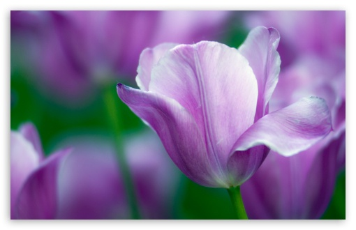 Violet Tulip HD wallpaper for Wide 16:10 5:3 Widescreen WHXGA WQXGA WUXGA WXGA WGA ; HD 16:9 High Definition WQHD QWXGA 1080p 900p 720p QHD nHD ; Standard 4:3 5:4 3:2 Fullscreen UXGA XGA SVGA QSXGA SXGA DVGA HVGA HQVGA devices ( Apple PowerBook G4 iPhone 4 3G 3GS iPod Touch ) ; Tablet 1:1 ; iPad 1/2/Mini ; Mobile 4:3 5:3 3:2 16:9 5:4 - UXGA XGA SVGA WGA DVGA HVGA HQVGA devices ( Apple PowerBook G4 iPhone 4 3G 3GS iPod Touch ) WQHD QWXGA 1080p 900p 720p QHD nHD QSXGA SXGA ;