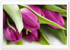 Violet Tulips HD Wide Wallpaper for Widescreen