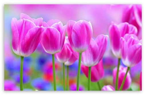 Vivid Colors Tulips, Spring ❤ 4K UHD Wallpaper for Wide 16:10 5:3 Widescreen WHXGA WQXGA WUXGA WXGA WGA ; UltraWide 21:9 24:10 ; 4K UHD 16:9 Ultra High Definition 2160p 1440p 1080p 900p 720p ; UHD 16:9 2160p 1440p 1080p 900p 720p ; Standard 4:3 5:4 3:2 Fullscreen UXGA XGA SVGA QSXGA SXGA DVGA HVGA HQVGA ( Apple PowerBook G4 iPhone 4 3G 3GS iPod Touch ) ; Smartphone 16:9 3:2 5:3 2160p 1440p 1080p 900p 720p DVGA HVGA HQVGA ( Apple PowerBook G4 iPhone 4 3G 3GS iPod Touch ) WGA ; Tablet 1:1 ; iPad 1/2/Mini ; Mobile 4:3 5:3 3:2 16:9 5:4 - UXGA XGA SVGA WGA DVGA HVGA HQVGA ( Apple PowerBook G4 iPhone 4 3G 3GS iPod Touch ) 2160p 1440p 1080p 900p 720p QSXGA SXGA ; Dual 16:10 5:3 16:9 4:3 5:4 3:2 WHXGA WQXGA WUXGA WXGA WGA 2160p 1440p 1080p 900p 720p UXGA XGA SVGA QSXGA SXGA DVGA HVGA HQVGA ( Apple PowerBook G4 iPhone 4 3G 3GS iPod Touch ) ;