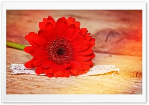 Vivid Red Gerbera Daisy HD Wide Wallpaper for Widescreen