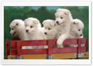 Wagonload Of Samoyed Puppies HD Wide Wallpaper for 4K UHD Widescreen desktop & smartphone
