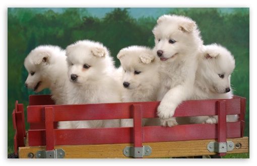 Wagonload Of Samoyed Puppies HD wallpaper for Wide 16:10 5:3 Widescreen WHXGA WQXGA WUXGA WXGA WGA ; HD 16:9 High Definition WQHD QWXGA 1080p 900p 720p QHD nHD ; Standard 3:2 Fullscreen DVGA HVGA HQVGA devices ( Apple PowerBook G4 iPhone 4 3G 3GS iPod Touch ) ; Mobile 5:3 3:2 16:9 - WGA DVGA HVGA HQVGA devices ( Apple PowerBook G4 iPhone 4 3G 3GS iPod Touch ) WQHD QWXGA 1080p 900p 720p QHD nHD ;
