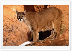 Walk In The Mountain Cougar HD Wide Wallpaper for Widescreen