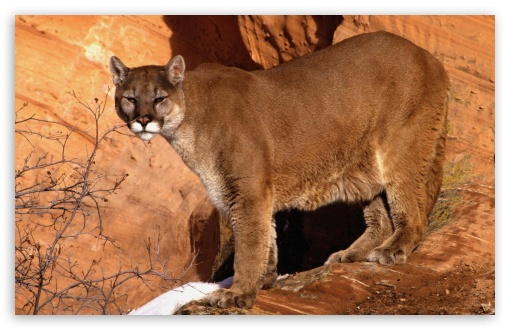 Walk In The Mountain Cougar ❤ 4K UHD Wallpaper for Wide 16:10 5:3 Widescreen WHXGA WQXGA WUXGA WXGA WGA ; Standard 4:3 5:4 3:2 Fullscreen UXGA XGA SVGA QSXGA SXGA DVGA HVGA HQVGA ( Apple PowerBook G4 iPhone 4 3G 3GS iPod Touch ) ; iPad 1/2/Mini ; Mobile 4:3 5:3 3:2 5:4 - UXGA XGA SVGA WGA DVGA HVGA HQVGA ( Apple PowerBook G4 iPhone 4 3G 3GS iPod Touch ) QSXGA SXGA ;