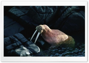 Walrus HD Wide Wallpaper for Widescreen