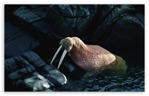 Walrus HD wallpaper for Wide 16:10 5:3 Widescreen WHXGA WQXGA WUXGA WXGA WGA ; HD 16:9 High Definition WQHD QWXGA 1080p 900p 720p QHD nHD ; Standard 4:3 5:4 3:2 Fullscreen UXGA XGA SVGA QSXGA SXGA DVGA HVGA HQVGA devices ( Apple PowerBook G4 iPhone 4 3G 3GS iPod Touch ) ; Tablet 1:1 ; iPad 1/2/Mini ; Mobile 4:3 5:3 3:2 16:9 5:4 - UXGA XGA SVGA WGA DVGA HVGA HQVGA devices ( Apple PowerBook G4 iPhone 4 3G 3GS iPod Touch ) WQHD QWXGA 1080p 900p 720p QHD nHD QSXGA SXGA ; Dual 4:3 5:4 UXGA XGA SVGA QSXGA SXGA ;