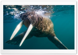 Walrus Underwater HD Wide Wallpaper for Widescreen