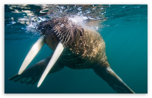 Walrus Underwater HD wallpaper for Wide 16:10 5:3 Widescreen WHXGA WQXGA WUXGA WXGA WGA ; HD 16:9 High Definition WQHD QWXGA 1080p 900p 720p QHD nHD ; Standard 4:3 Fullscreen UXGA XGA SVGA ; iPad 1/2/Mini ; Mobile 4:3 5:3 16:9 - UXGA XGA SVGA WGA WQHD QWXGA 1080p 900p 720p QHD nHD ;