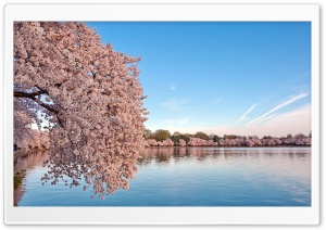 Washington DC Cherry Blossom HD Wide Wallpaper for 4K UHD Widescreen desktop & smartphone
