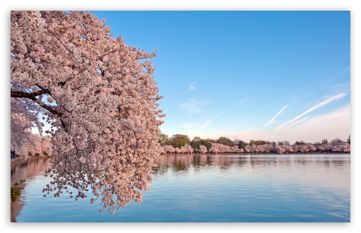 Washington DC Cherry Blossom ❤ 4K UHD Wallpaper for Wide 16:10 5:3 Widescreen WHXGA WQXGA WUXGA WXGA WGA ; 4K UHD 16:9 Ultra High Definition 2160p 1440p 1080p 900p 720p ; UHD 16:9 2160p 1440p 1080p 900p 720p ; Standard 4:3 5:4 3:2 Fullscreen UXGA XGA SVGA QSXGA SXGA DVGA HVGA HQVGA ( Apple PowerBook G4 iPhone 4 3G 3GS iPod Touch ) ; Smartphone 5:3 WGA ; Tablet 1:1 ; iPad 1/2/Mini ; Mobile 4:3 5:3 3:2 16:9 5:4 - UXGA XGA SVGA WGA DVGA HVGA HQVGA ( Apple PowerBook G4 iPhone 4 3G 3GS iPod Touch ) 2160p 1440p 1080p 900p 720p QSXGA SXGA ;