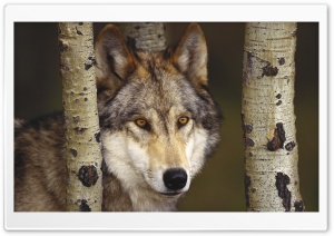 Watcher In The Woods Grey Wolf HD Wide Wallpaper for Widescreen