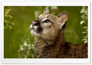 Watchful Cougar Montana HD Wide Wallpaper for Widescreen
