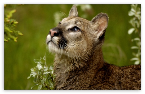 Watchful Cougar Montana HD wallpaper for Wide 16:10 5:3 Widescreen WHXGA WQXGA WUXGA WXGA WGA ; HD 16:9 High Definition WQHD QWXGA 1080p 900p 720p QHD nHD ; Standard 4:3 5:4 Fullscreen UXGA XGA SVGA QSXGA SXGA ; MS 3:2 DVGA HVGA HQVGA devices ( Apple PowerBook G4 iPhone 4 3G 3GS iPod Touch ) ; Mobile VGA WVGA iPhone iPad PSP Phone - VGA QVGA Smartphone ( PocketPC GPS iPod Zune BlackBerry HTC Samsung LG Nokia Eten Asus ) WVGA WQVGA Smartphone ( HTC Samsung Sony Ericsson LG Vertu MIO ) HVGA Smartphone ( Apple iPhone iPod BlackBerry HTC Samsung Nokia ) Sony PSP Zune HD Zen ; Tablet 1&2 Android ;