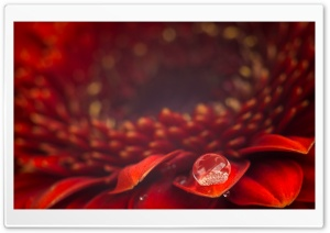 Water Drop, Red Gerbera Daisy Flower, Macro Ultra HD Wallpaper for 4K UHD Widescreen desktop, tablet & smartphone