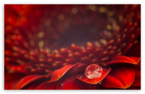 Water Drop, Red Gerbera Daisy Flower, Macro ❤ 4K UHD Wallpaper for Wide 16:10 5:3 Widescreen WHXGA WQXGA WUXGA WXGA WGA ; 4K UHD 16:9 Ultra High Definition 2160p 1440p 1080p 900p 720p ; Standard 4:3 5:4 3:2 Fullscreen UXGA XGA SVGA QSXGA SXGA DVGA HVGA HQVGA ( Apple PowerBook G4 iPhone 4 3G 3GS iPod Touch ) ; Smartphone 16:9 3:2 5:3 2160p 1440p 1080p 900p 720p DVGA HVGA HQVGA ( Apple PowerBook G4 iPhone 4 3G 3GS iPod Touch ) WGA ; Tablet 1:1 ; iPad 1/2/Mini ; Mobile 4:3 5:3 3:2 16:9 5:4 - UXGA XGA SVGA WGA DVGA HVGA HQVGA ( Apple PowerBook G4 iPhone 4 3G 3GS iPod Touch ) 2160p 1440p 1080p 900p 720p QSXGA SXGA ;