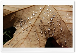 Water Drops On A Dried Maple Leaf HD Wide Wallpaper for Widescreen