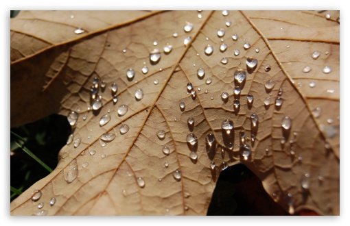 Water Drops On A Dried Maple Leaf ❤ 4K UHD Wallpaper for Wide 16:10 5:3 Widescreen WHXGA WQXGA WUXGA WXGA WGA ; 4K UHD 16:9 Ultra High Definition 2160p 1440p 1080p 900p 720p ; Standard 4:3 5:4 3:2 Fullscreen UXGA XGA SVGA QSXGA SXGA DVGA HVGA HQVGA ( Apple PowerBook G4 iPhone 4 3G 3GS iPod Touch ) ; iPad 1/2/Mini ; Mobile 4:3 5:3 3:2 16:9 5:4 - UXGA XGA SVGA WGA DVGA HVGA HQVGA ( Apple PowerBook G4 iPhone 4 3G 3GS iPod Touch ) 2160p 1440p 1080p 900p 720p QSXGA SXGA ;