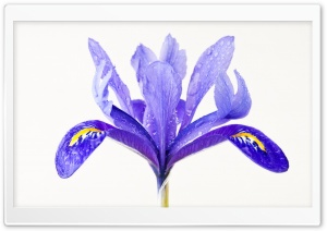 Water Drops on a Purple Iris Flower HD Wide Wallpaper for Widescreen