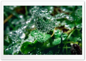 Water Drops On Clover Leaves HD Wide Wallpaper for 4K UHD Widescreen desktop & smartphone