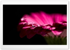 Water Drops On Gerbera Petals HD Wide Wallpaper for Widescreen
