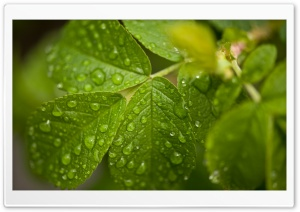 Water Drops On Leaves HD Wide Wallpaper for 4K UHD Widescreen desktop & smartphone