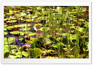 Water Flowers HD Wide Wallpaper for Widescreen