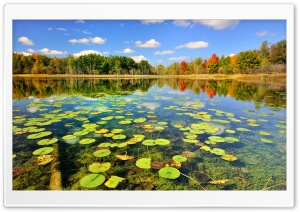 Water Lilies Leaves HD Wide Wallpaper for Widescreen