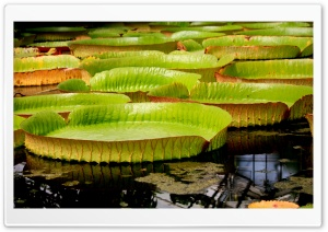 Water Liliy HD Wide Wallpaper for Widescreen