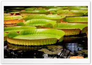 Water Liliy Ultra HD Wallpaper for 4K UHD Widescreen desktop, tablet & smartphone