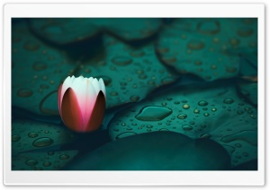 Water Lily HD Wide Wallpaper for Widescreen