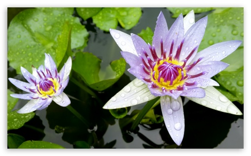 Water Lily ❤ 4K UHD Wallpaper for Wide 5:3 Widescreen WGA ; 4K UHD 16:9 Ultra High Definition 2160p 1440p 1080p 900p 720p ; Standard 5:4 Fullscreen QSXGA SXGA ; Smartphone 16:9 3:2 5:3 2160p 1440p 1080p 900p 720p DVGA HVGA HQVGA ( Apple PowerBook G4 iPhone 4 3G 3GS iPod Touch ) WGA ; Tablet 1:1 ; iPad 1/2/Mini ; Mobile 4:3 5:3 3:2 16:9 5:4 - UXGA XGA SVGA WGA DVGA HVGA HQVGA ( Apple PowerBook G4 iPhone 4 3G 3GS iPod Touch ) 2160p 1440p 1080p 900p 720p QSXGA SXGA ;