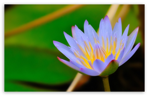 Water Lily ❤ 4K UHD Wallpaper for Wide 16:10 5:3 Widescreen WHXGA WQXGA WUXGA WXGA WGA ; 4K UHD 16:9 Ultra High Definition 2160p 1440p 1080p 900p 720p ; Standard 4:3 5:4 3:2 Fullscreen UXGA XGA SVGA QSXGA SXGA DVGA HVGA HQVGA ( Apple PowerBook G4 iPhone 4 3G 3GS iPod Touch ) ; Tablet 1:1 ; iPad 1/2/Mini ; Mobile 4:3 5:3 3:2 16:9 5:4 - UXGA XGA SVGA WGA DVGA HVGA HQVGA ( Apple PowerBook G4 iPhone 4 3G 3GS iPod Touch ) 2160p 1440p 1080p 900p 720p QSXGA SXGA ;