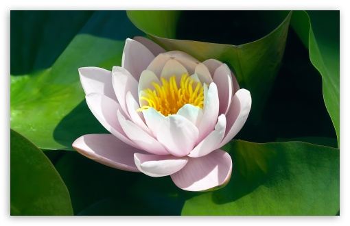 Water Lily Flower HD wallpaper for Wide 16:10 5:3 Widescreen WHXGA WQXGA WUXGA WXGA WGA ; HD 16:9 High Definition WQHD QWXGA 1080p 900p 720p QHD nHD ; Standard 4:3 5:4 3:2 Fullscreen UXGA XGA SVGA QSXGA SXGA DVGA HVGA HQVGA devices ( Apple PowerBook G4 iPhone 4 3G 3GS iPod Touch ) ; Tablet 1:1 ; iPad 1/2/Mini ; Mobile 4:3 5:3 3:2 16:9 5:4 - UXGA XGA SVGA WGA DVGA HVGA HQVGA devices ( Apple PowerBook G4 iPhone 4 3G 3GS iPod Touch ) WQHD QWXGA 1080p 900p 720p QHD nHD QSXGA SXGA ;