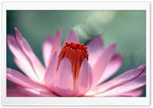 Water Lily Flower HD Wide Wallpaper for Widescreen