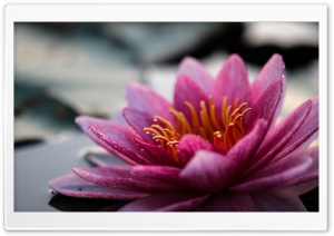 Water Lily Flower Close-up HD Wide Wallpaper for 4K UHD Widescreen desktop & smartphone